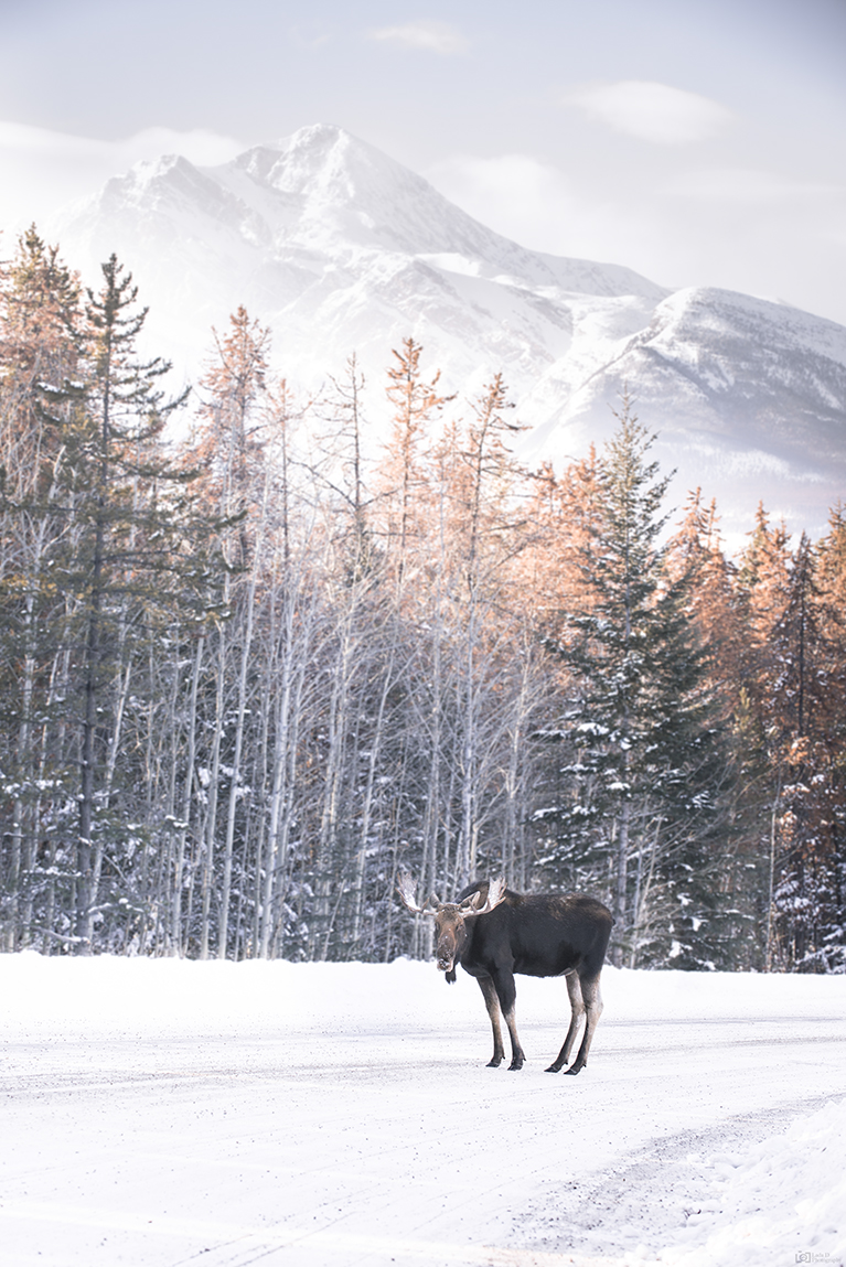 Moose - Jasper National Park